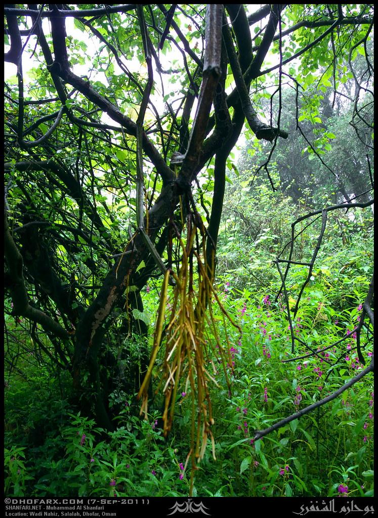 Veldt Grape Cissus Quadrangularis: Veld Grape, Cissus Quadrangularis, Roots In Wadi Nahiz, Sa