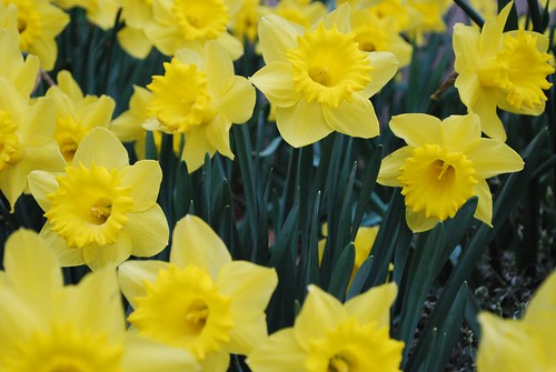 daffodils   by wolfsavard