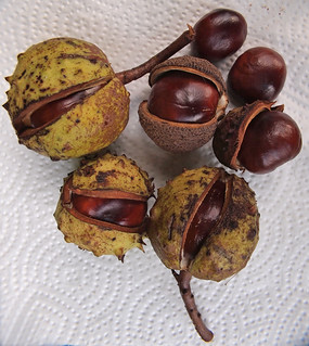 Horse Chestnuts | by D H Wright