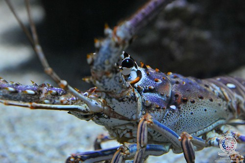 Lobster-1 | by keywest aquarium