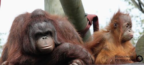 Monkey World Baby Orangutan and Nurse Close up   by Hexagoneye Photography