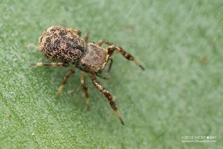 Jumping spider (cf. Zygoballus sp.) - DSC_8550