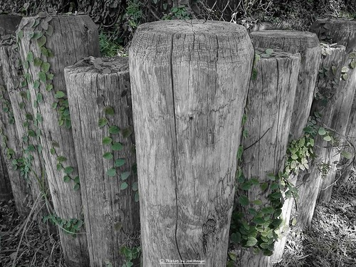 bw color green wall fence wooden shot some cellphone ivy vine monotone posts creeping castlepark shermanoaks