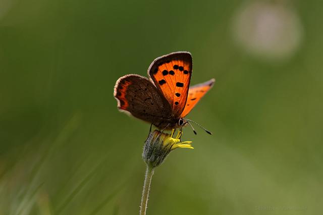 Lycaena phlaeas - Cuivré commun