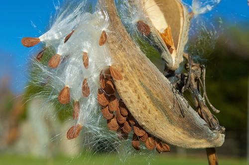 asclepiassyriaca commonmilkweed milkweed milkweedseed milkweedseedpod