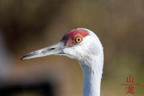 Sandhill Crane (Grus canadensis) | by DragonSpeed