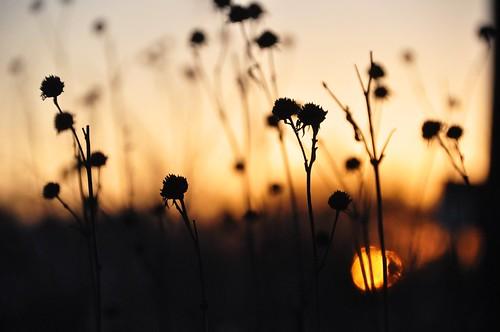 flowers autumn sunset sky orange plants sun black fall nature silhouette outdoors gold glow sundown depthoffield stems fade prairie deadheads
