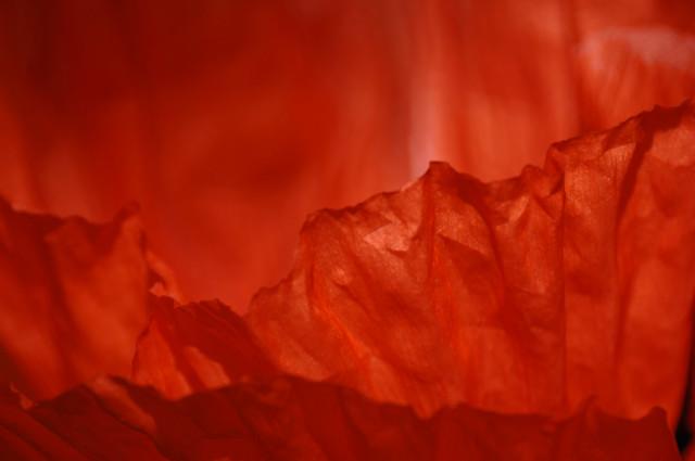 Fiery Poppy