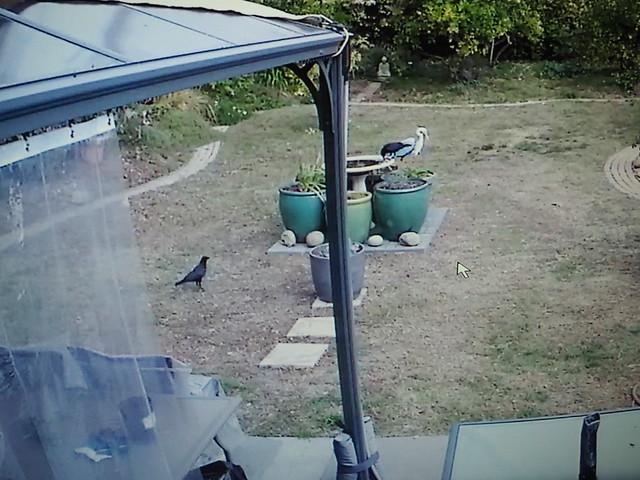PC114048 crows getting nuts on birdbath via security camera