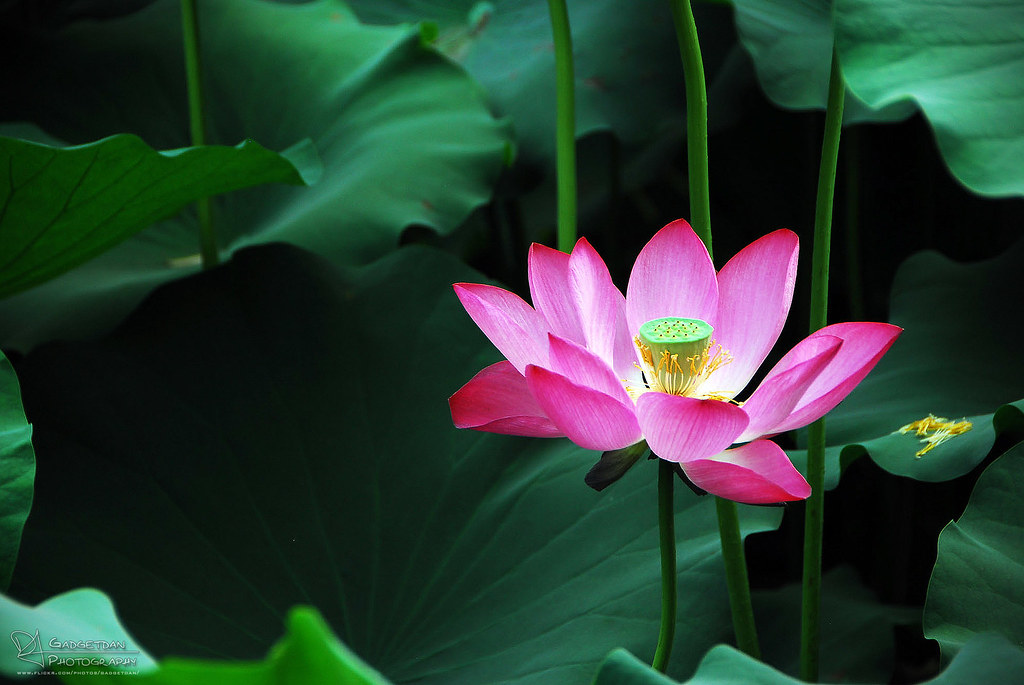 situs togel resmi lotus