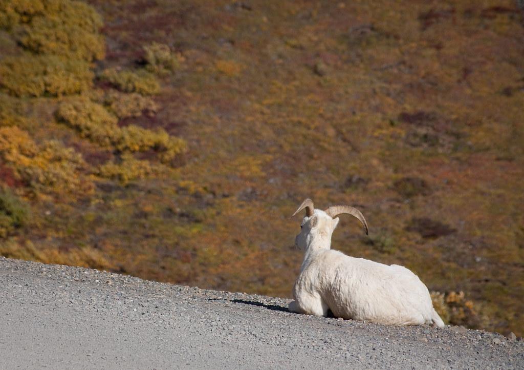 alone again naturally | Dall Sheep Denali National Park Dena