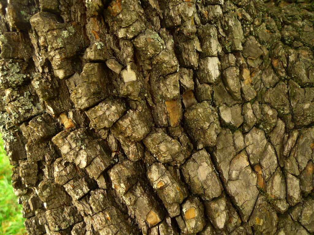 Persimmon bark - in the ebony wood family