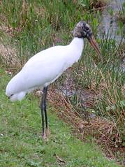 Wood Stork, Everglades NP, FL