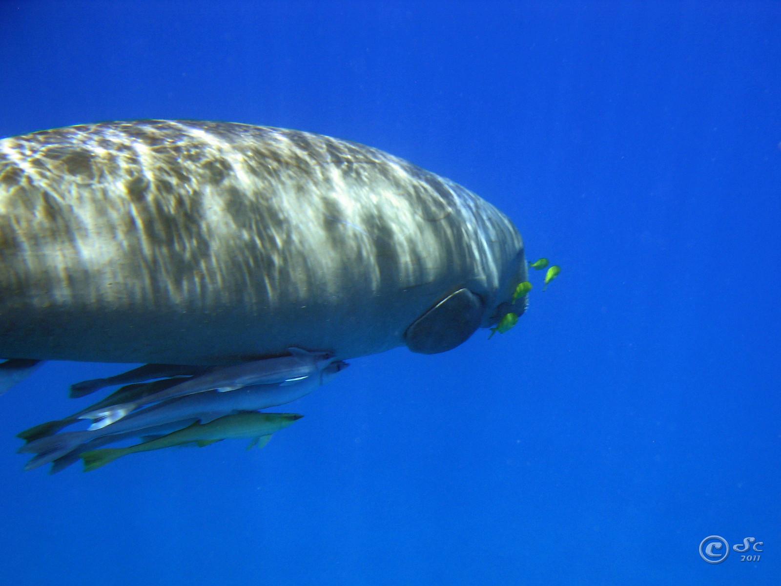 Dugong - Dugongo