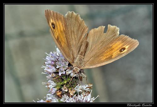 Myrtil femelle (Maniolia jurtina)