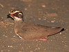Bronze-winged Courser, Lengwe (Malawi), 20-May-11 by Dave Appleton