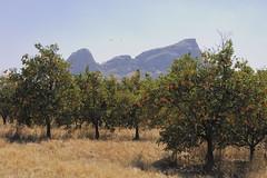 Orange orchard near Taikoo
