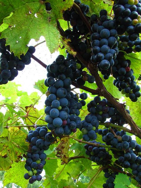 Grapes make Wine