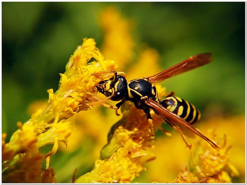 nature bee hornet yellowjacket sooc justsaying theyhavetosurvivetoo utohthedelusionalselfentitledarerising