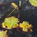 Flickr photo 'Hippuris vulgaris (+ leaves of Nuphar lutea) (48°09' N 16°33' E)' by: HermannFalkner/sokol.
