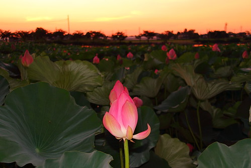 flower japan sunrise dawn twilight asia lotus 日本 nippon saitama kawagoe 花 川越 埼玉 蓮 古代蓮 isanuma 伊佐沼