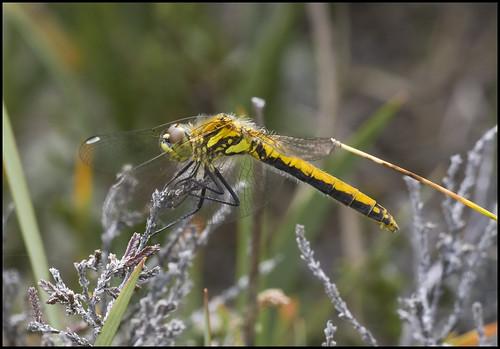 ireland macro dragonflies dragonfly insects bog anisoptera laois abbeyleix sigma180macro blackdarter sympetrumdanae sigma180 blackmeadowhawk sigma180mmf35exdgmacro colaois irishwildlife irishdragonflies killamuck sigma180mm35dexapomacro killamuckbog abbeyleixbog signa180