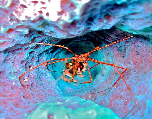 crustacean bonaire coralreef netherlandsantilles spidercrab arrowcrab kralendijk stovepipesponge stenorhynchusseticornis caribbeanarrowcrab