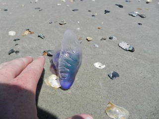 Portuguese Man-of-War | by Travis S.
