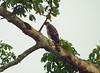 Black Sparrowhawk, Nyasosso, Cameroon by Terathopius