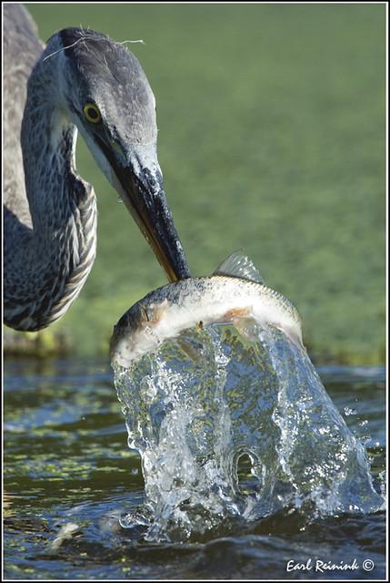 20110804-2028 Great Blue Heron