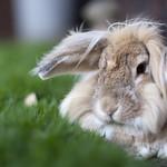Bokeh Bunny (FD 55mm f1.2)