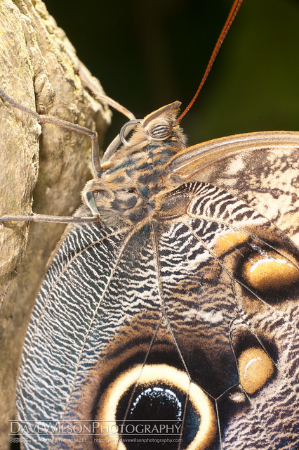 Owl Butterfly, Houston Museum of Natural Science