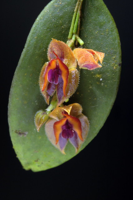 Lepanthes sp. RD #1