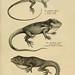 Naturgeschichte und Abbildungen der Reptilien