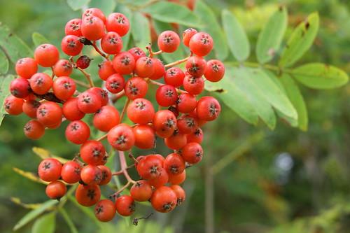 Rowan berries | by diamondflamer