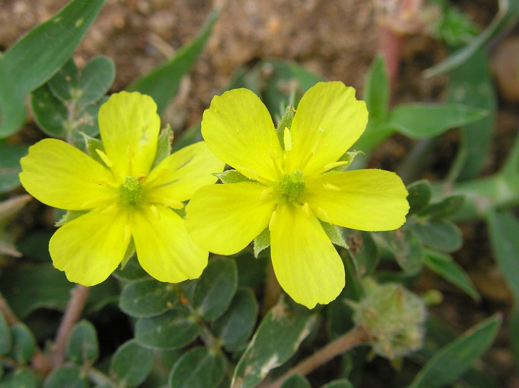 Fleur et plantetribulus