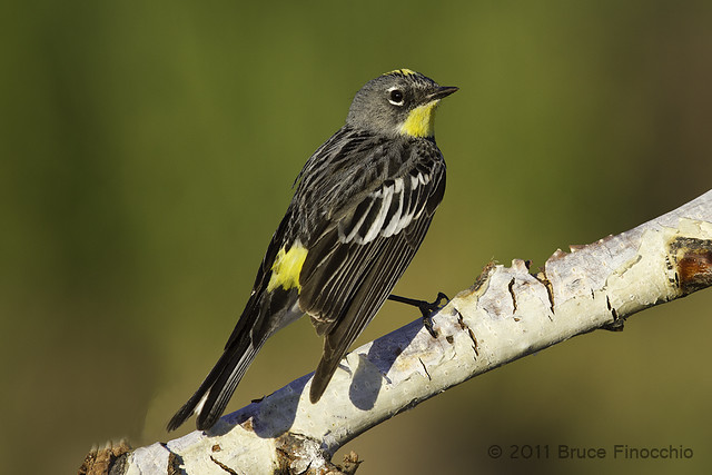 Male Yellow-rumped Warbler On Perch