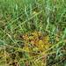 Flickr photo 'Vaccinium oxycoccos (s. str.) (48°30' N 14°52' E)' by: HermannFalkner/sokol.