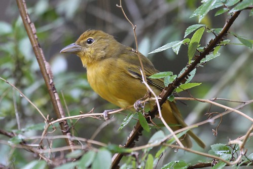 texas summertanager pirangarubra silverleaf