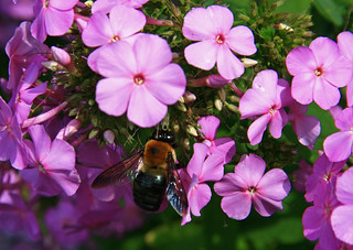Bee in Phlox