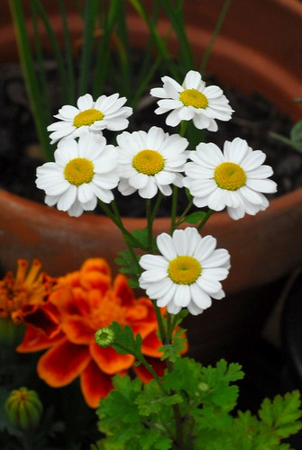 Feverfew flowers | by Forest Pines