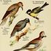 Schreibers kleiner Atlas der einheimischen Vögel. v.1.