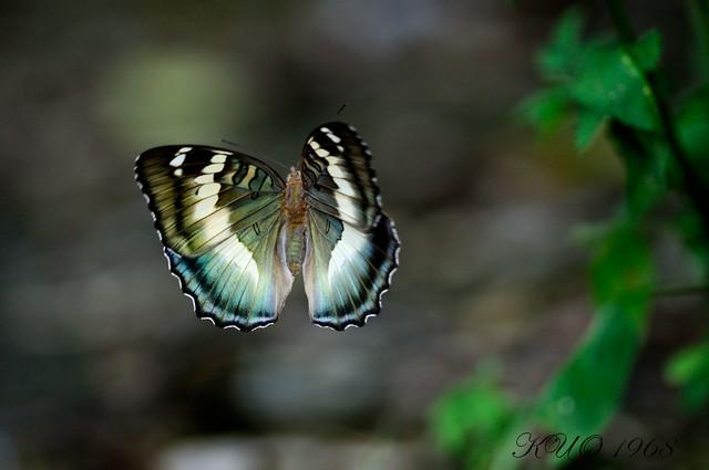 _AUG3279臺灣翠蛺蝶(臺灣綠蛺蝶)Euthalia formosana Fruhstorfer