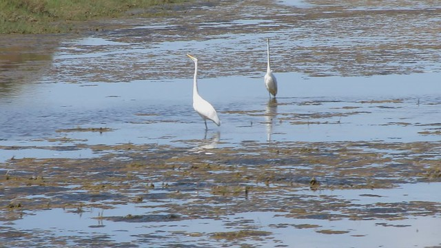 MVI_4726 great egrets play chicken
