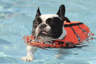 French Bulldog Chikuwa swimming | by solutionsoap