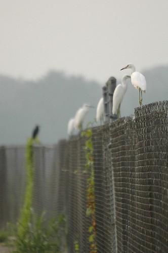 sunrise georgia dof nikond70 herons egrets augustaga egrettacaerulea littleblueherons phinizyswampnaturepark sigmaaf70300mmf456apodgmacrolens
