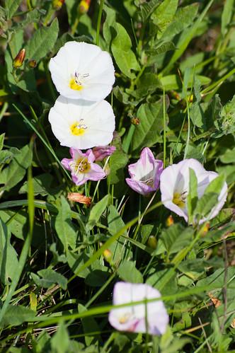 Small convulvulus flower