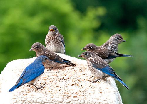 bluebirds topshots juveniles specanimal natureselegantshots flickrsportal