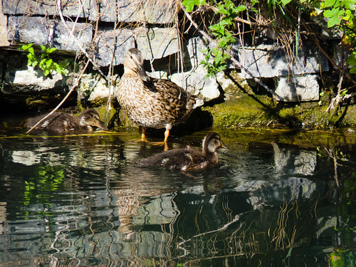 Duck and ducklings, Birmingham canal