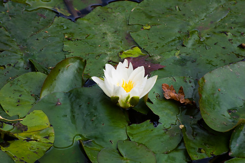 Later waterlily flower